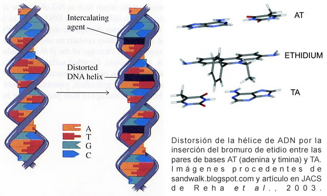 Distorsión de la hélice de ADN por la inserción del bromuro de etidio entre las pares de bases AT (adenina y timina) y TA. Imágenes procedentes de sandwalk.blogspot.com y artículo en JACS de Reha et al., 2003.