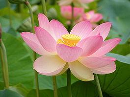 Imagen del loto sagrado.