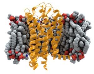 Representación del receptor CCR5 en la membrana.