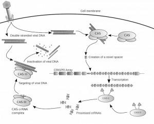 Ejemplo de la acción de la tecnología CRISPR/Cas.