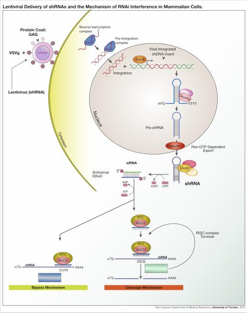 ShRNA_Lentivirus.jpg (481×610)