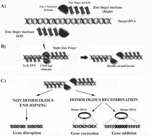 Acción de las nucleasas con dedos de Zinc como sistema de anclaje a la secuencia a modificar.