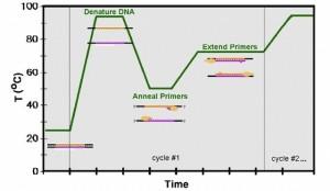 amplificación del ADN
