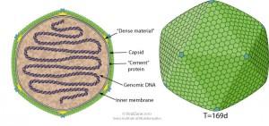 Virión de Chlorovirus.