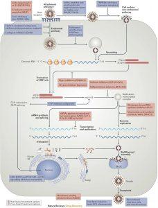 Ciclo infeccioso de un coronavirus publicado en 2015 en la revista Nature y sus dianas bloqueantes.